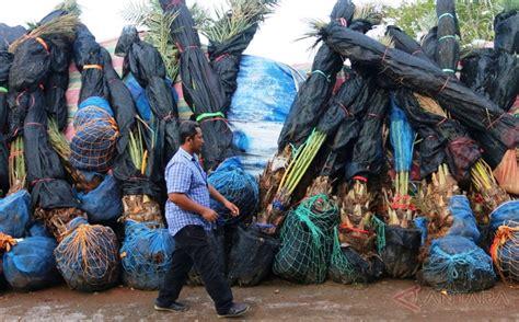 Bibit Pohon Kurma ribuan pohon kurma seludupan dari thailand dimusnahkan