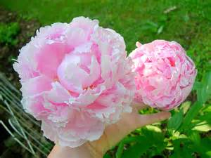 pink peonies pink peonies and other flowers from long ago new england s narrow road