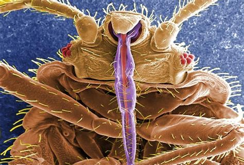 are bed bugs visible to the human eye pin by bedbug equipment rentals on bed bugs pinterest