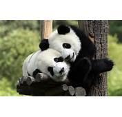 El Oso Panda  Juanlsalas