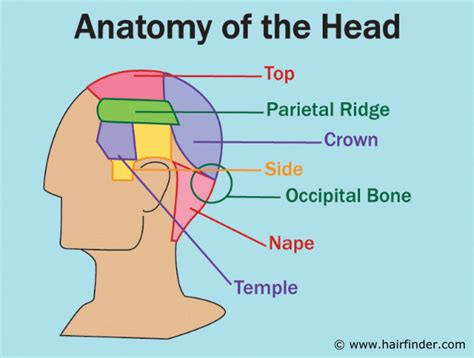 occipitsl bone do with hritcutting anatomy of the head and the references used for the areas