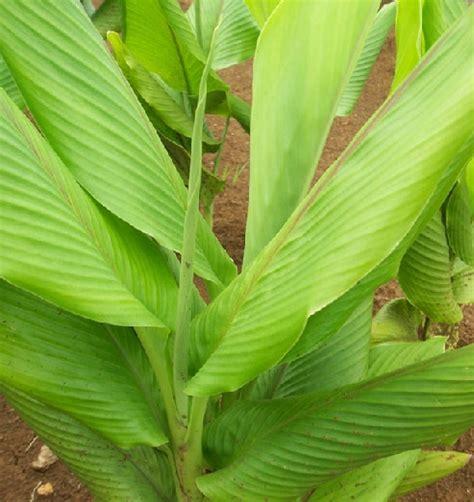 Temu Mangga Segar 1 Kg tanaman temu mangga