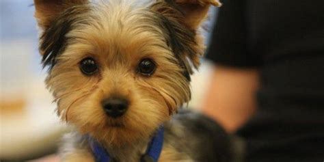 hair cut for yorkie pekachon the 25 best ideas about yorkie haircuts on pinterest