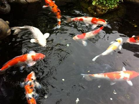 koi fish color meaning koi fish meaning color direction and more