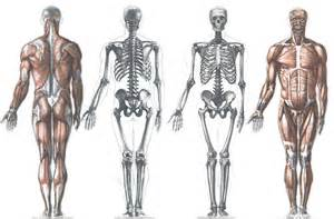Basic bones and muscles of the human body and for this my advice is to