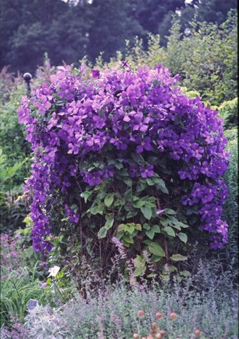 flowering shrubs for afternoon sun clematis jackmanii clematis jackmanii from frank otte