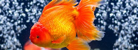 can dogs eat goldfish fancy goldfish care sheet supplies petsmart