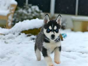Siberian husky puppies in snow 1024x768 the dog wallpaper best the