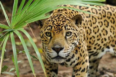 imagenes jaguar you the cheyenne project 5 interesting facts about jaguars