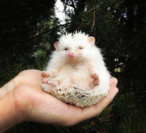 cute baby hedgehog smiling 20 adorable pics to celebrate hedgehog day bored panda