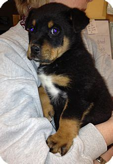 rottweiler puppies in kentucky sson adopted puppy lagrange ky rottweiler hound unknown type mix