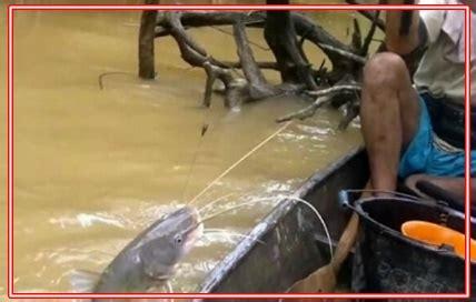 teknik mancing ikan baung  sungai  umpan racikan