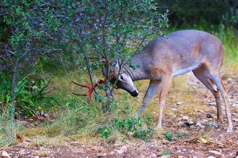 7 deer calls to help you master the whitetail language pics