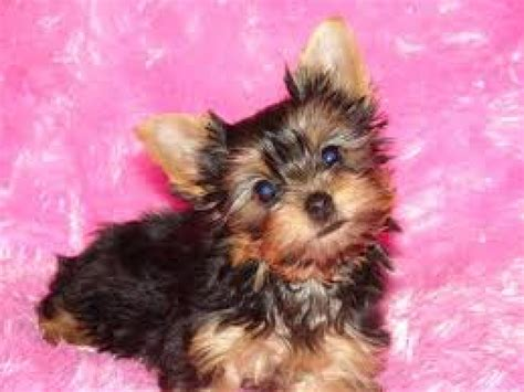 yorkie colorado teacup terrier puppies dogs puppies colorado free