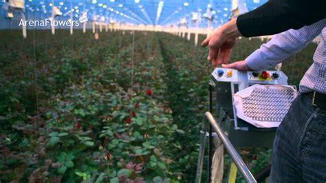 amazing red roses farm   netherlands youtube