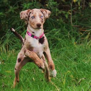 Catahoula leopard dog is named after the catahoula parish in louisiana