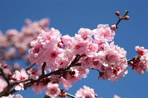cherry blossom festival cherry blossom festival 2015 sydney