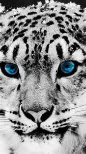 Snow leopard iphone wallpaper tags animals blue eyes leopard snow