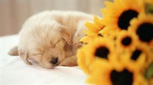 Spring desktop backgrounds with puppies hd wallpaper background