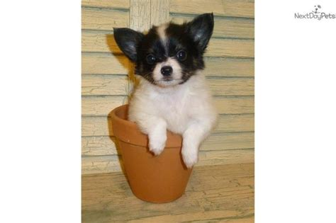 chion puppies for sale 17 best ideas about papillon puppies for sale on papillon puppies