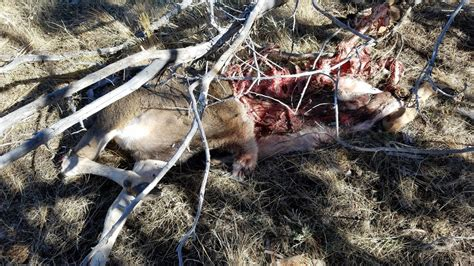 buck two osp two dead buck deer without heads found near