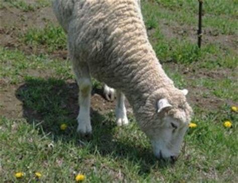 alimentazione pecore pecore allevamento pecore e capre
