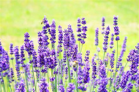 piante ricanti con fiori viola foto gratis lavanda fiori viola immagine gratis su
