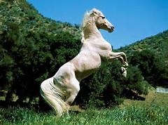 White Horse Rearing