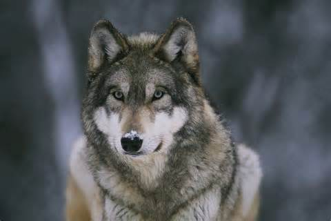 Pictures of Owning Wolves