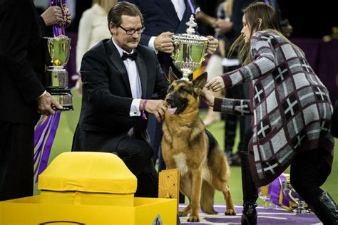 westminster kennel club show 2017 photos 2017 westminster show v1 news gallery