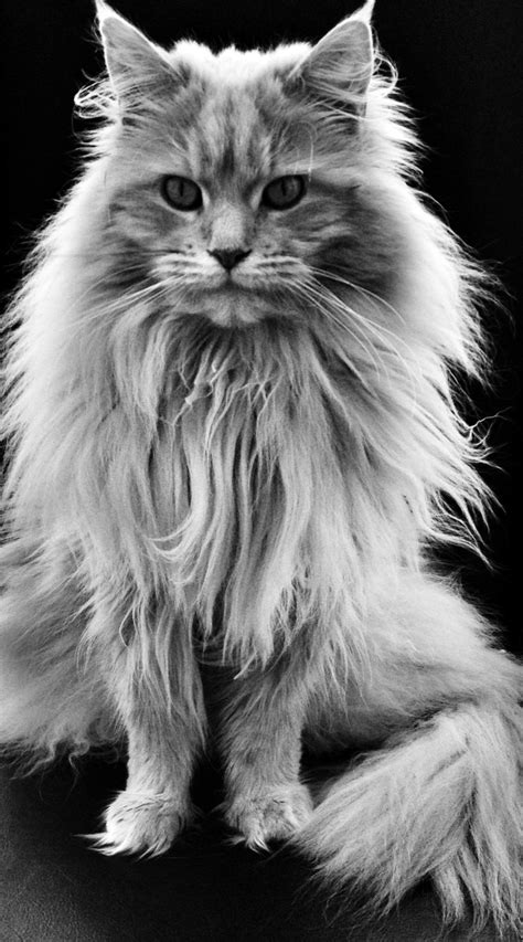 Maine Coon Cat History   Annie Many