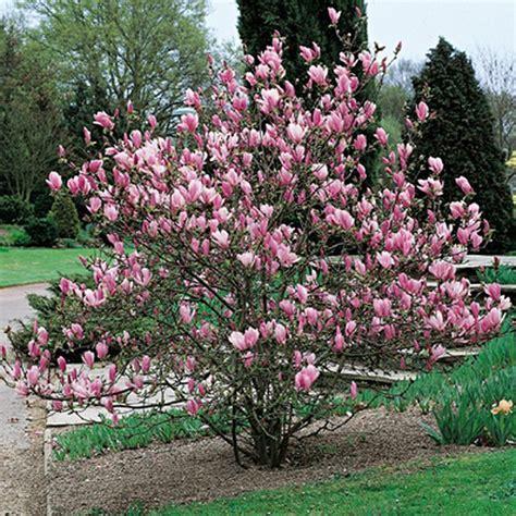 immagini magnolia fiore magnolia da fiore wineflowers