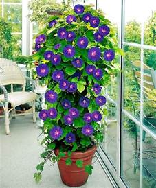 Best Climbing Plants - 24 best vines for containers climbing plants for pots