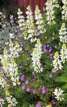 hortensie wims rispen hortensie quot wims 174 quot landscaping
