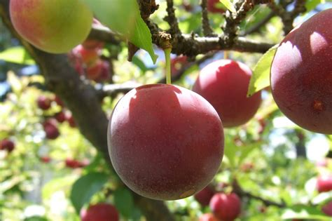 propagating fruit trees start your own fruit trees bushes garden culture magazine