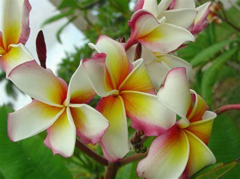 plumeria colors hawaiian flag plumeria plumeria by florida colors nursery