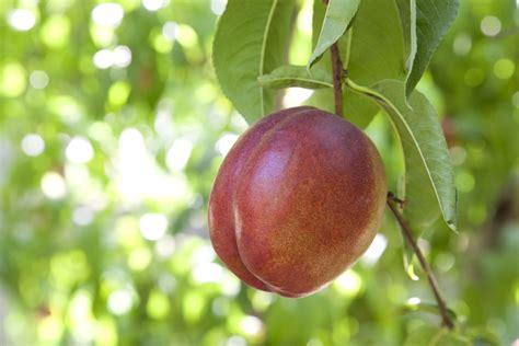nectarine tree why won t my nectarine tree fruit treating a fruitless nectarine tree
