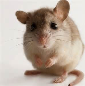 mouse images the mice rodents sing to each other when they