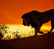 African Safari Lion Sunset