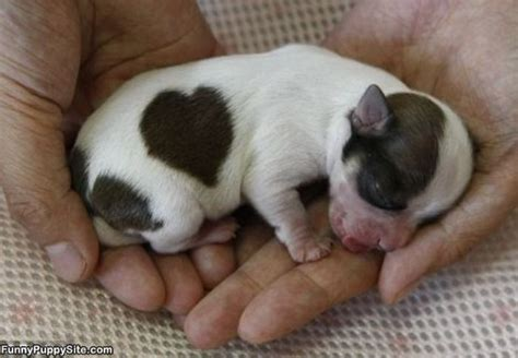 tiniest puppy tiny puppy image funnypuppysite