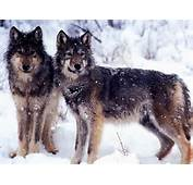 Pictures Wolves Wallpapers Free Download In Car