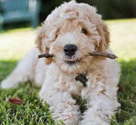 goldendoodle puppy chewing via the daily puppy puppy breed labrador retriever