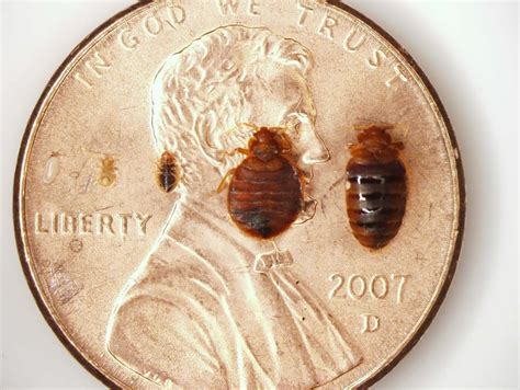 bed bug size comparison bed bug pictures stages bangdodo