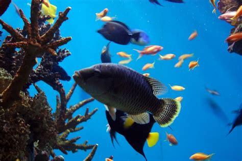 Swimming Fish L by Blue Tang Fish Swimming In An Aquarium 4 Free Photos