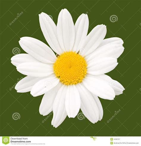 fiore della camomilla fiore della camomilla fotografia stock libera da diritti