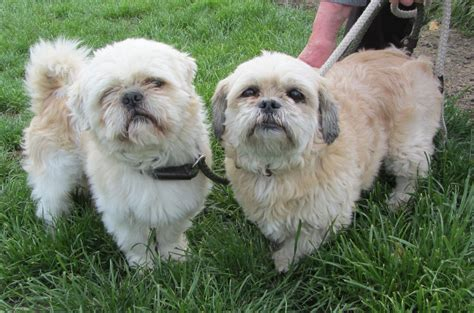 rspca shih tzu shih tzu pair 8 year rspca essex waltham essex pets4homes