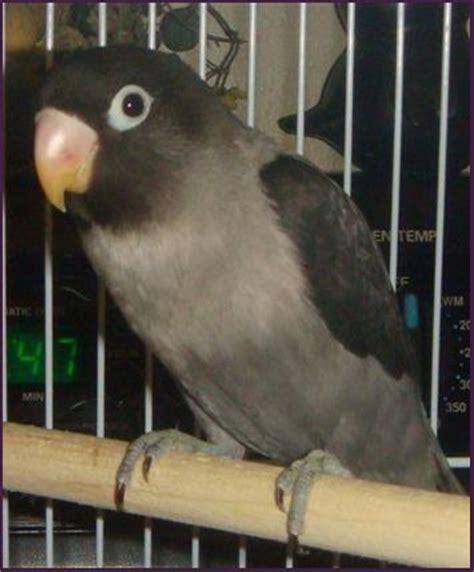 10 images about black masked lovebirds on pinterest