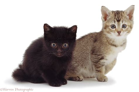 and kitten black kitten and tabby kitten photo wp02214