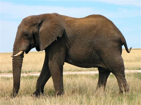 African Bush Elephant | Animals Library