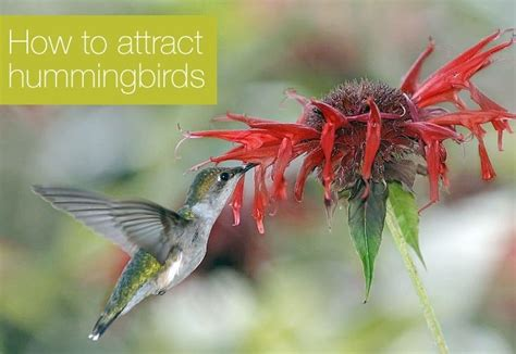 how to attract hummingbirds to your garden flowers plants